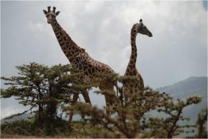 Jirafas en su habitat