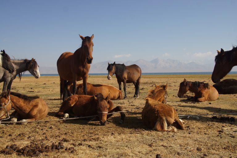caballos mogoles en Song Kul