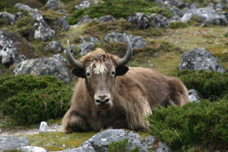 Yak durante el Trekking de Langtang