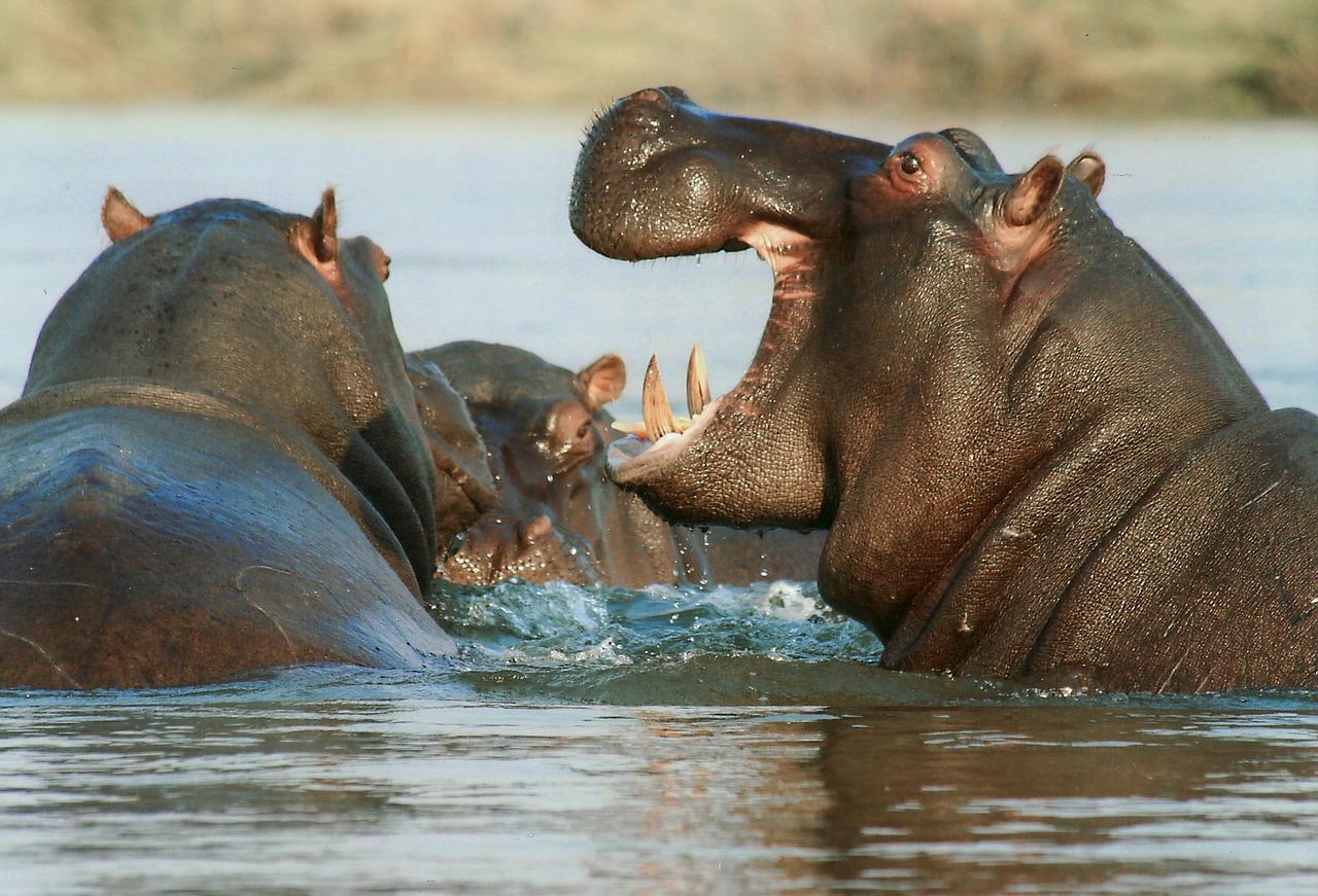 Hipopotamos en Namibia