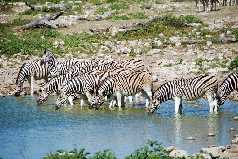 Etoshako parke nazionaleko zebrak