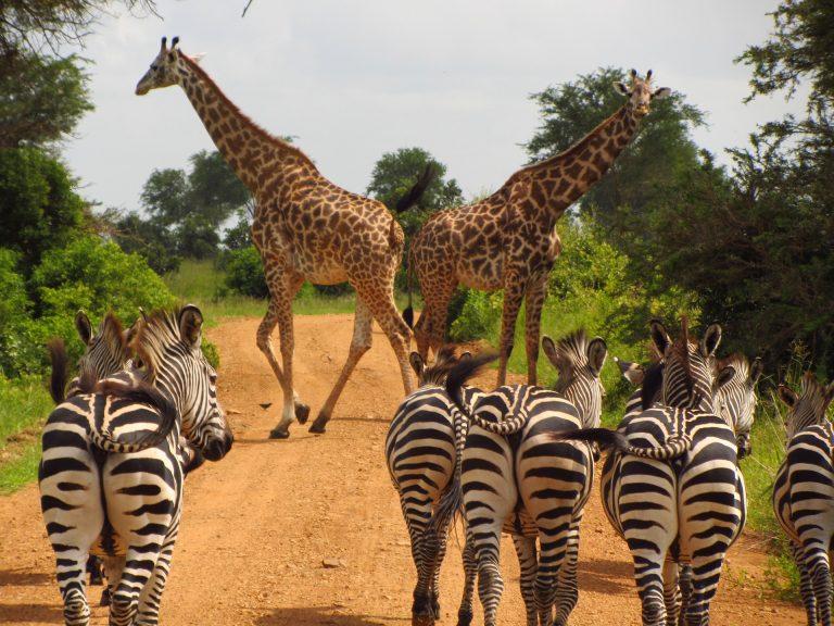 Zebras y Jirafas Mikumi